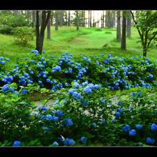 入選『朝光と紫陽花』井出-利久