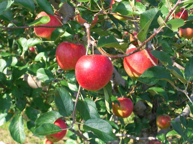 【終了しました。】りんごの里まつり