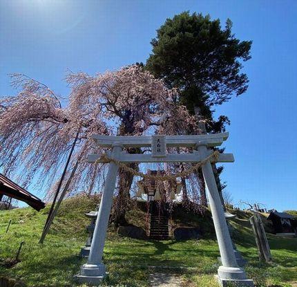 黒川・天白社(てんぱくしゃ)のシダレザクラ
