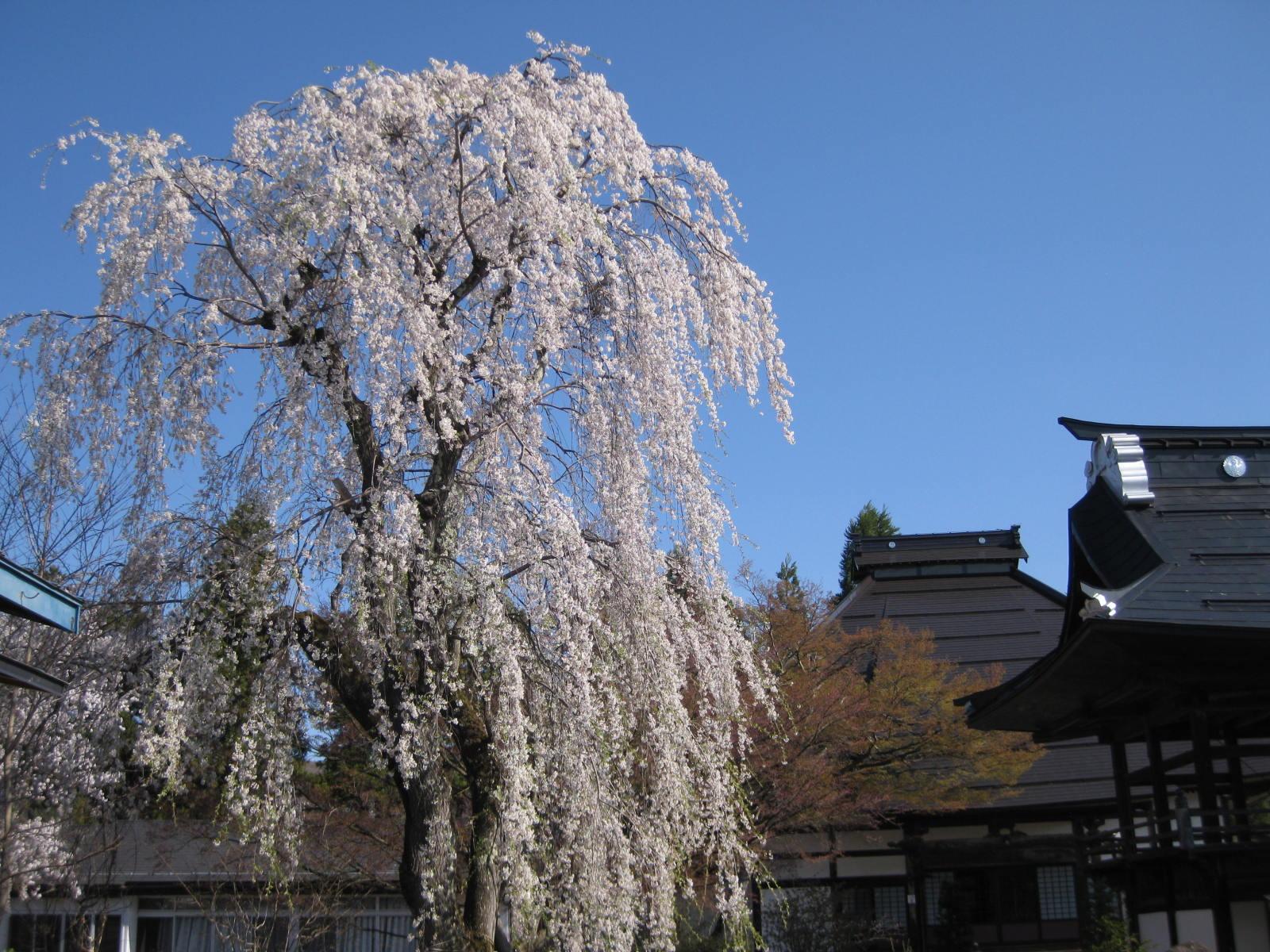 長谷寺(ちょうこくじ)のしだれ桜