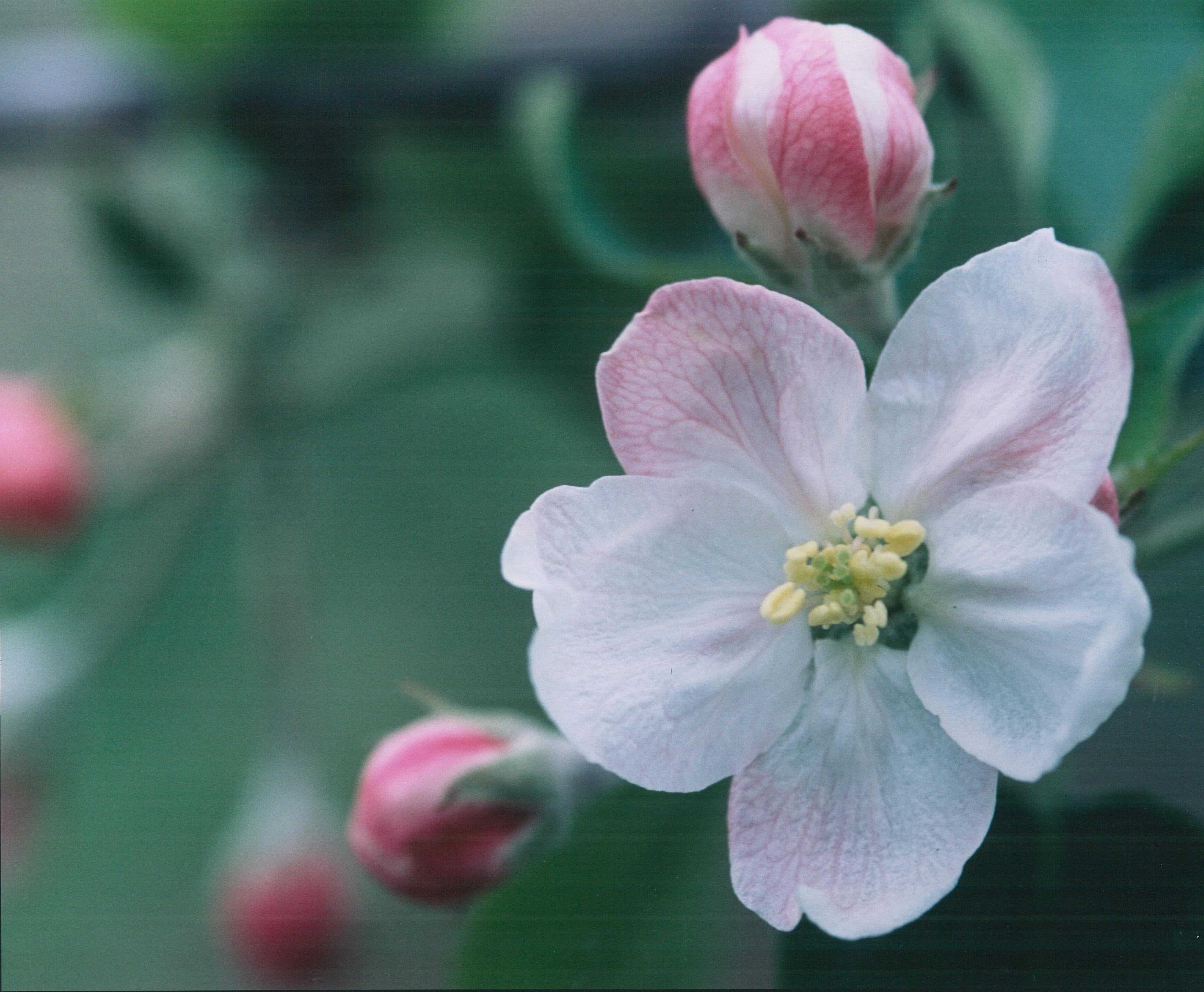 北信五岳道路沿いの一面の「りんごの花」