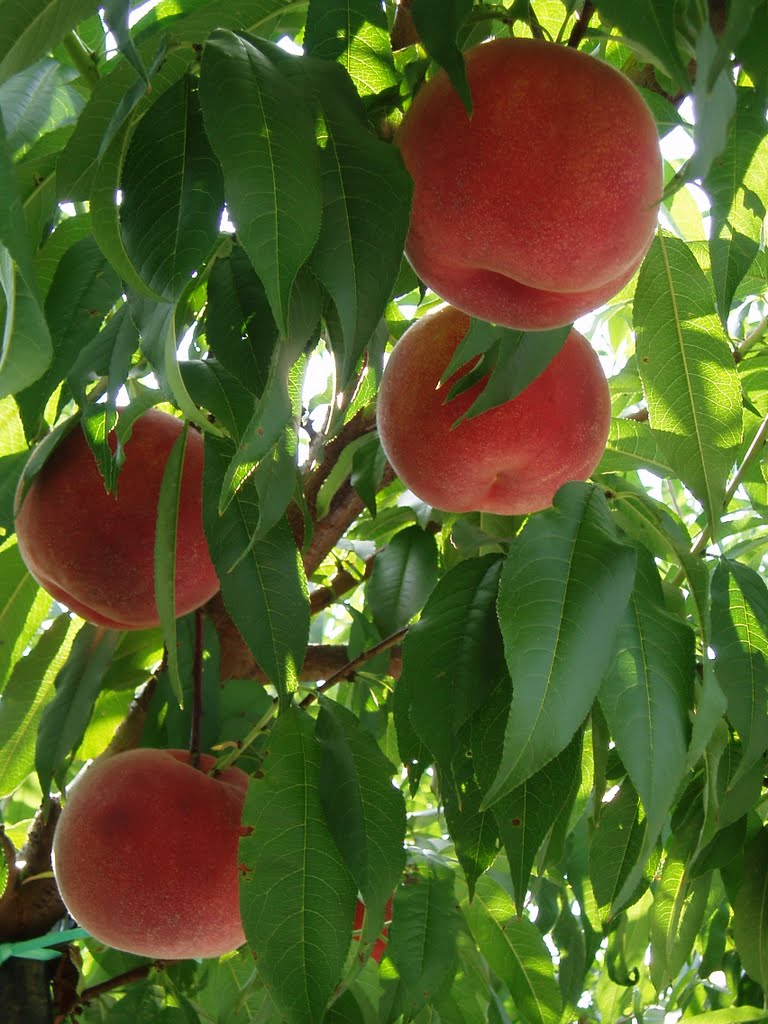 桃狩りシーズンです!